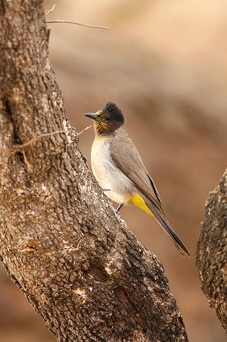 Dark-capped Bulbul / Kololo Game Reserve, Waterberg, South Africa / 11 August 2013