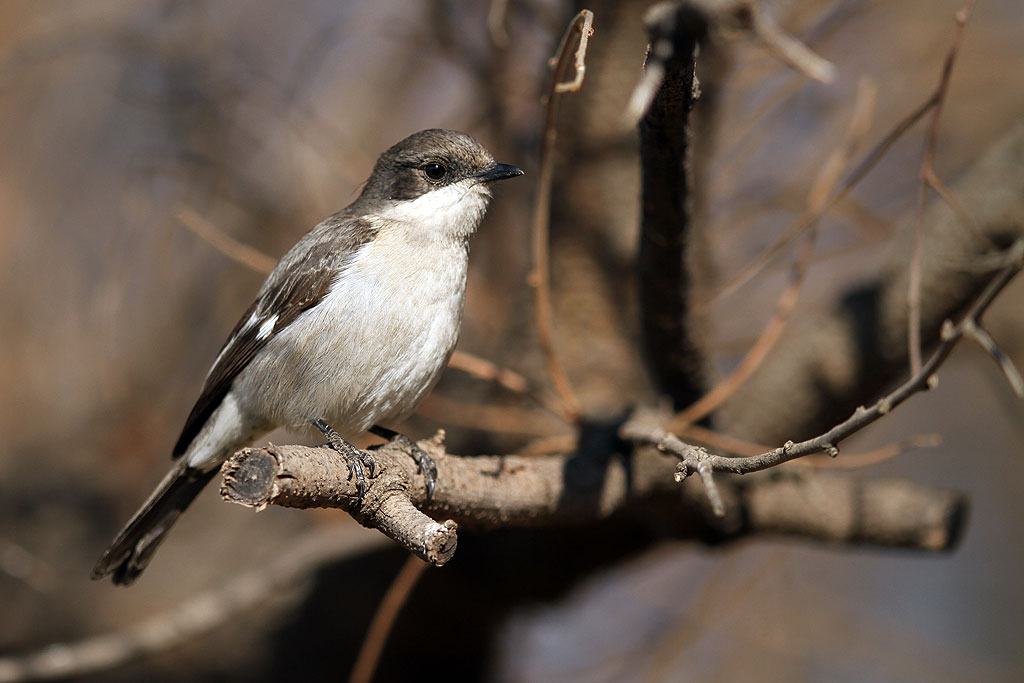 Fiscal Flycatcher / Rietvlei Nature Reserve, South Africa / 28 July 2013