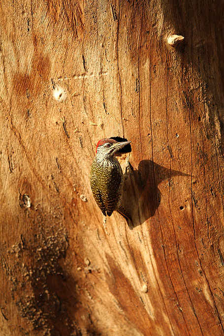 Golden-tailed Woodpecker / Blyde River Wilderness Lodge, South Africa / 22 July 2013