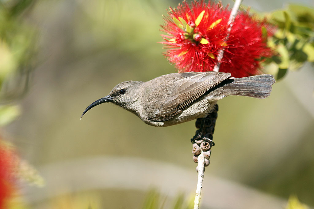 Greater Double-collared Sunbird – fem. / Kololo Game Reserve, Waterberg, South Africa / 11 August 2013