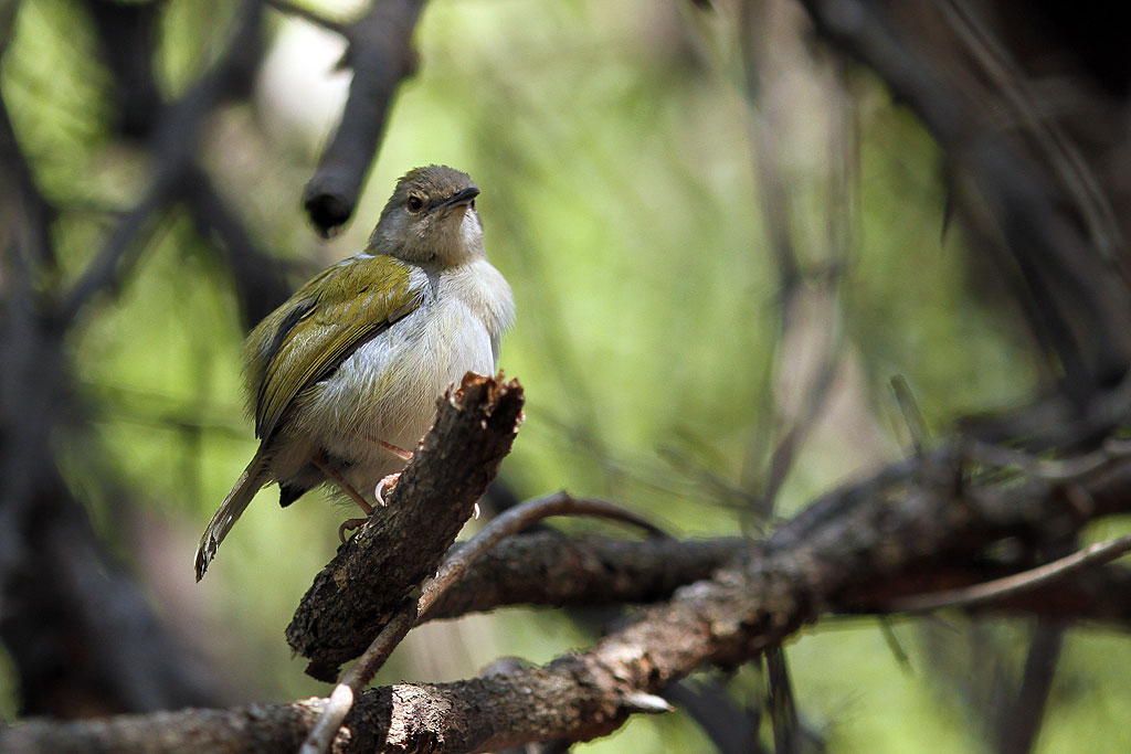 Green-backed Camaroptera / Blyde River Wilderness Lodge, South Africa / 22 July 2013
