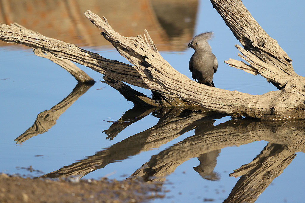 Grey Go-away-bird / Mankwe Dam, Pilanesberg National Park, South Africa / 03 August 2013