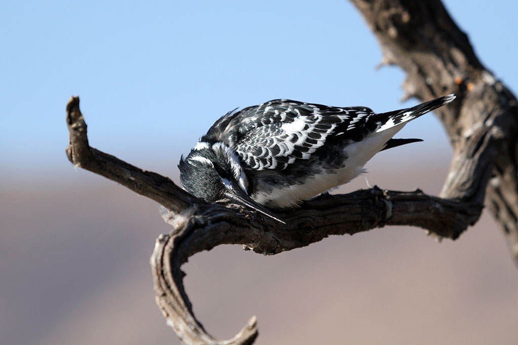 Pied Kingfisher / Mankwe Dam, Pilanesberg National Park, South Africa / 03 August 2013