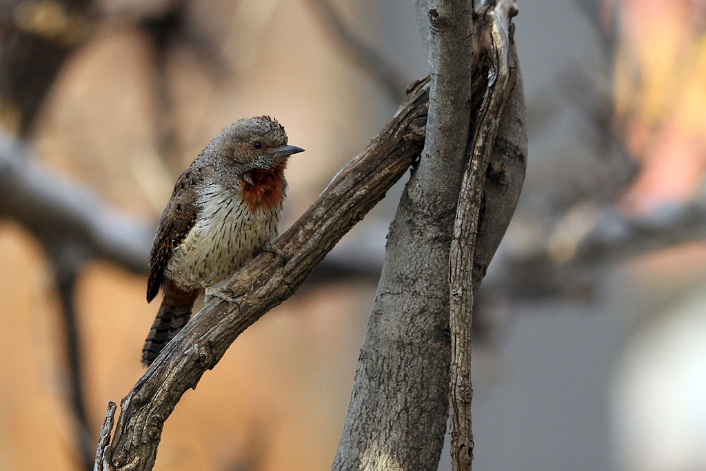 Red-throated Wryneck / Kololo Game Reserve, Waterberg, South Africa / 11 August 2013