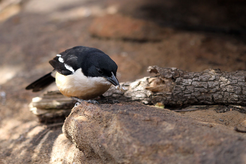 Southern Boubou / Kololo Game Reserve, Waterberg, South-Africa / 11 August 2013