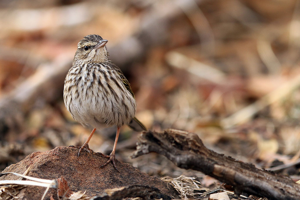 Striped Pipit / Kololo Game Reserve, Waterberg, South Africa / 11 August 2013