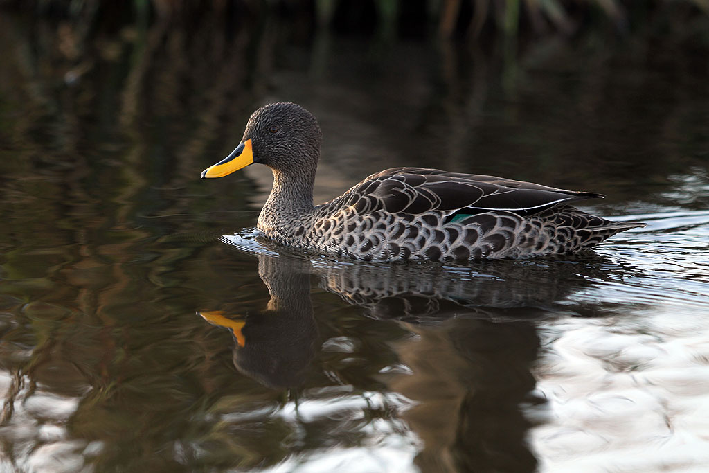 Yellow-billed Duck / Rietvlei Nature Reserve, South Africa / 28 July 2013