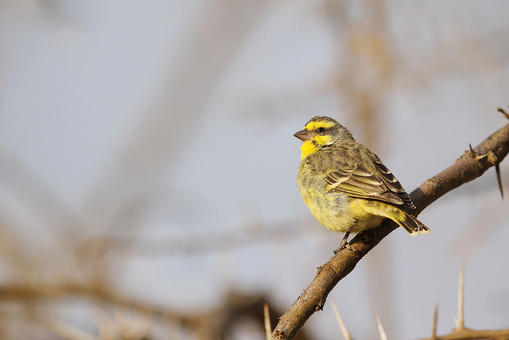 Yellow-fronted Canary / Kololo Game Reserve, Waterberg, South Africa / 11 August 2013