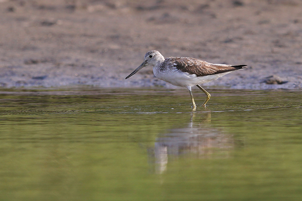 Common Greenshank / Umngazi River Bungalows, South Africa / 13 September 2013
