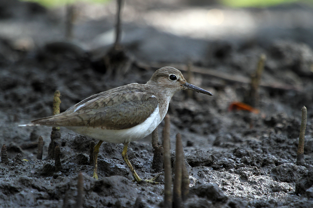 Common Sandpiper / Umngazi River Bungalows, South Africa / 11 September 2013