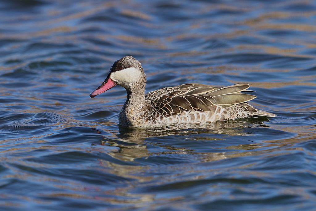 Red-billed Teal / Marievale Bird Sanctuary, Nigel, South Africa / 31 August 2013