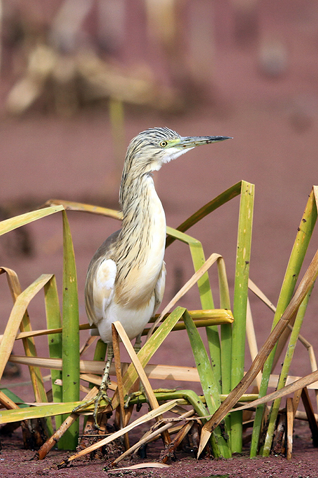 Squacco Heron / Marievale Bird Sanctuary, South Africa / 23 August 2013