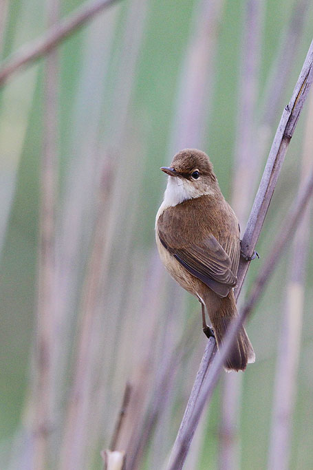 African Reed Warbler / Marievale Bird Sanctuary, South Africa / 22 September 2013