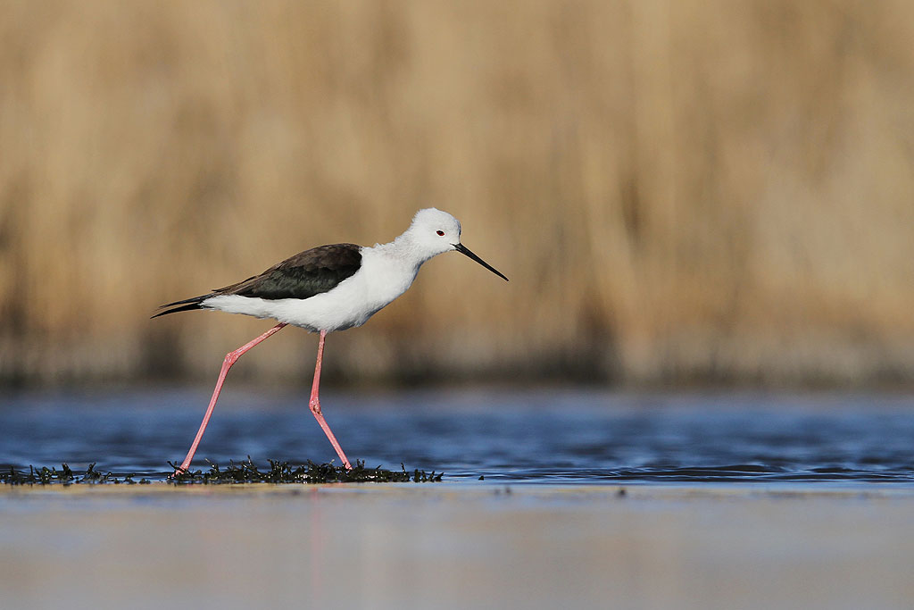 Black-winged Stilt / Marievale Bird Sanctuary, South Africa / 31 August 2013