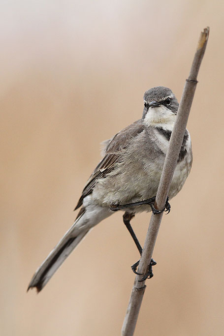 Cape Wagtail / Marievale Bird Sanctuary, South Africa / 22 September 2013