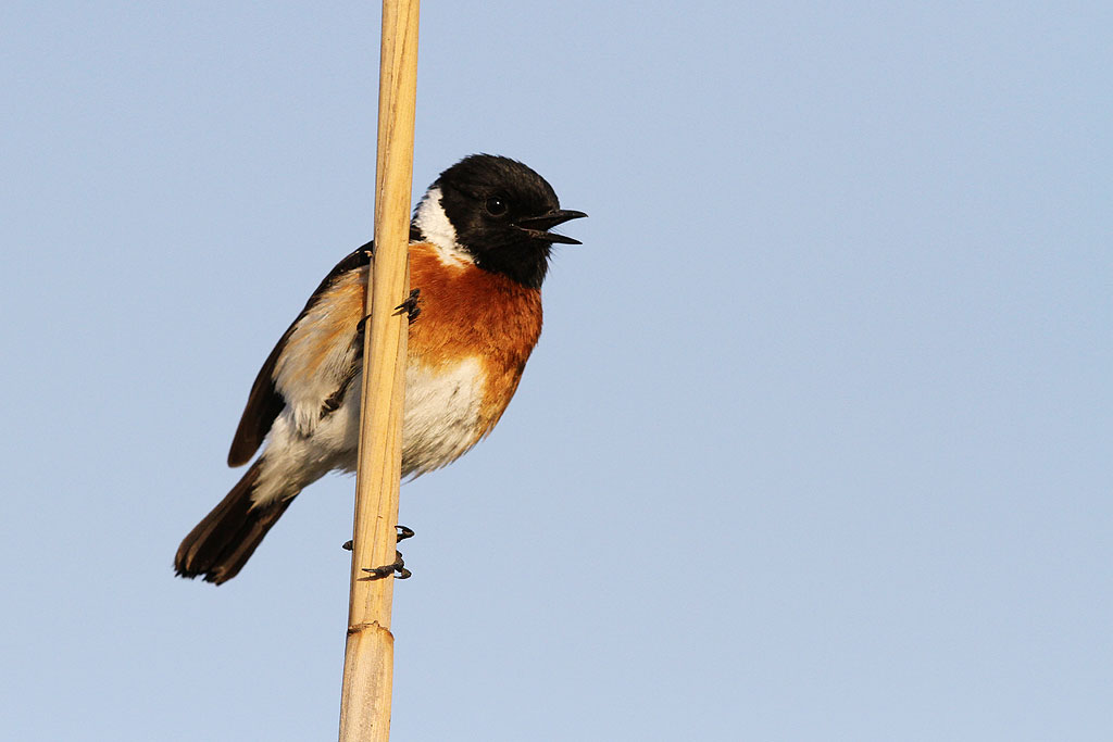 Common Stonechat / Marievale Bird Sanctuary, South Africa / 05 October 2013