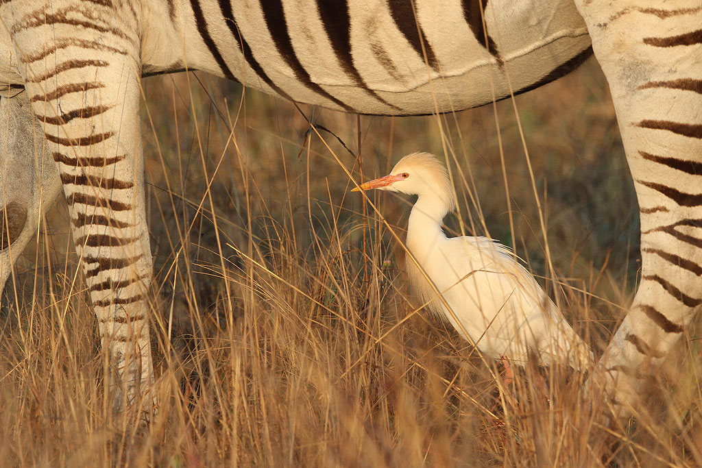 Cattle Egret / Rietvlei Nature Reserve, South Africa / 19 October 2013