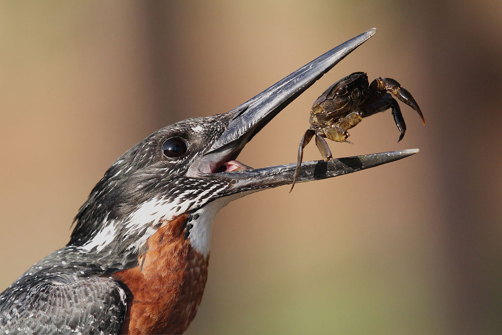 "Giant Kingfisher – November's ""Photograph of the Month"" – The Sunday Times Wildlife Photograph of the Year 2014 competition"