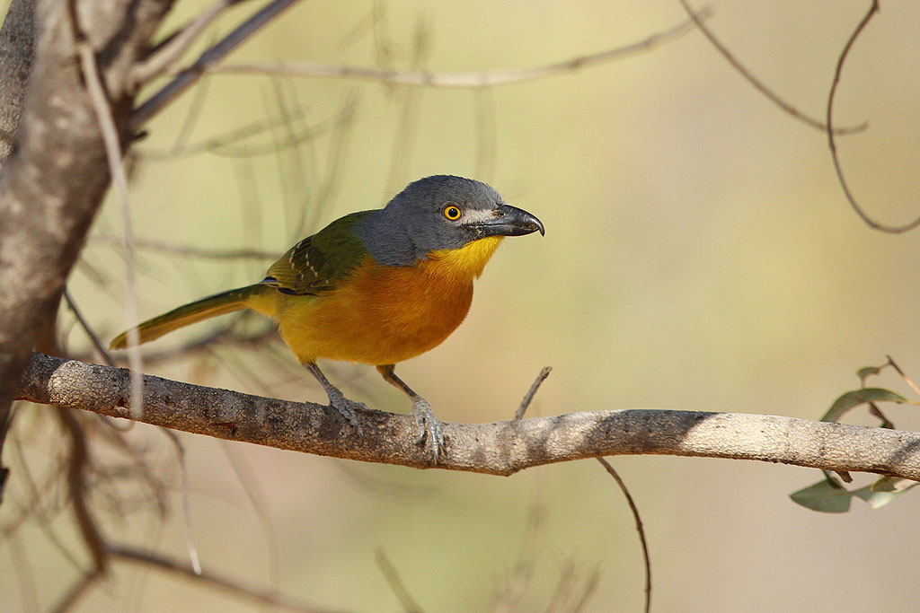 Grey-headed Bushshrike / Kololo Game Reserve, Waterberg, South Africa / 11 August 2013