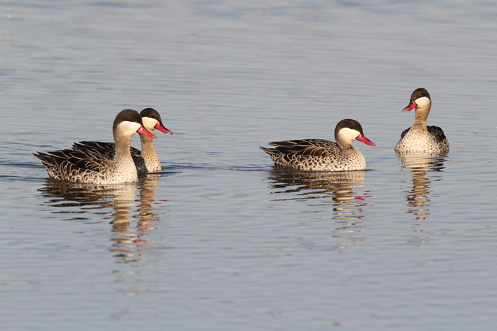Red-billed Teal / Marievale Bird Sanctuary, South Africa / 05 October 2013