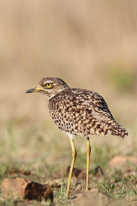 Spotted Thick-knee or Dikkop / Rietvlei Nature Reserve, South Africa / 19 October 2013