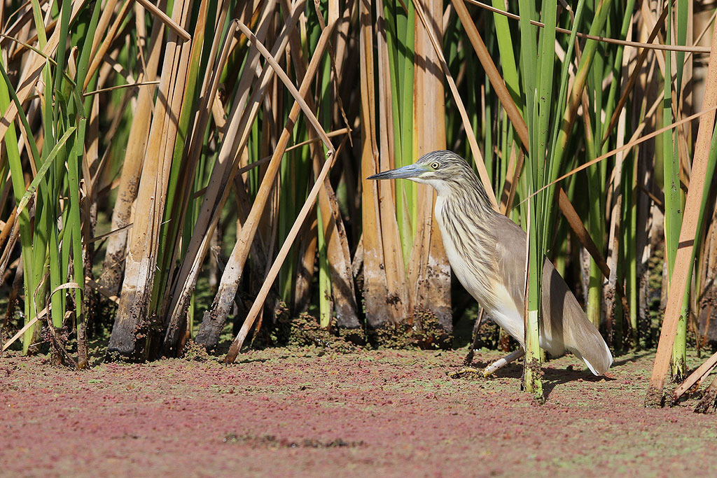 Squacco Heron / Marievale Bird Sanctuary, South Africa / 05 October 2013