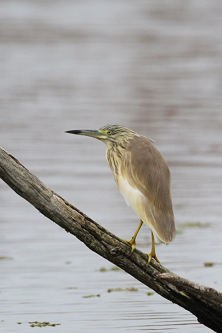 Squacco Heron / Marievale Bird Sanctuary, South Africa / 22 September 2013