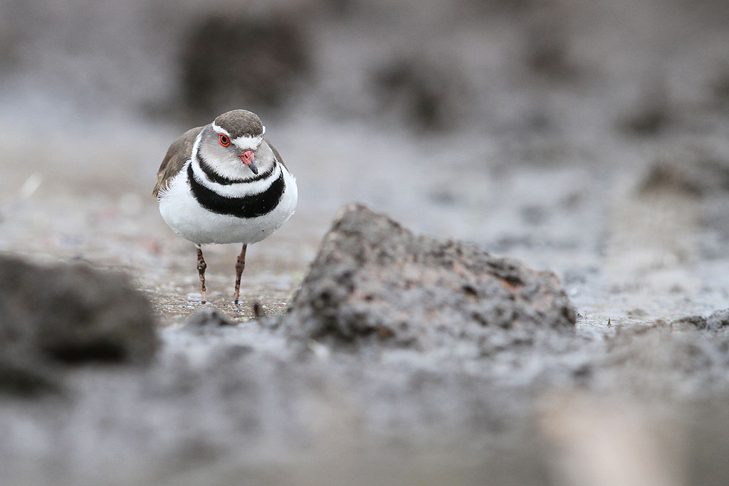 Three-banded Plover / Marievale Bird Sanctuary, South Africa / 22 September 2013