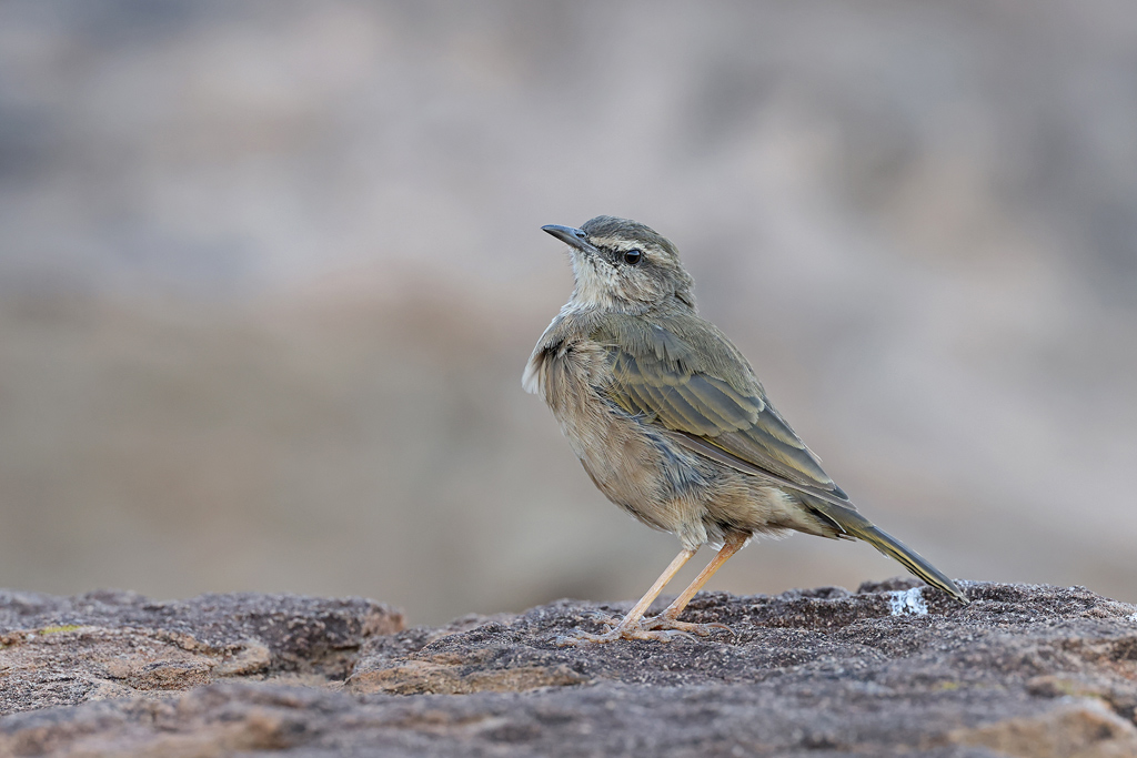 African Rock Pipit / Mountain Zebra National park, South Africa / March 2021