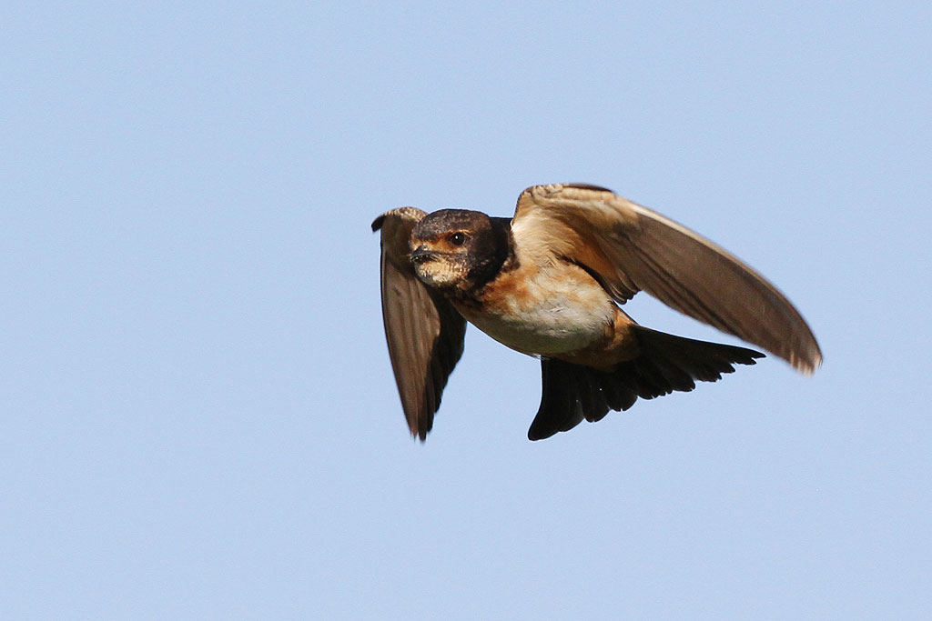 South African Cliff Swallow / Eendracht, Suikerbosrand, South Africa / 03 November 2013