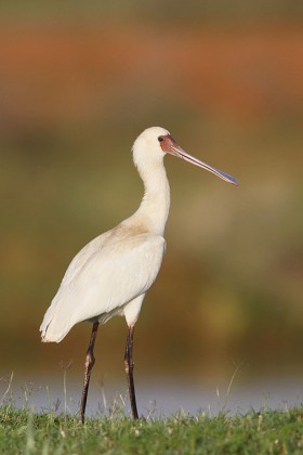 Bird Photography / African Spoonbill / Kgomo Kgomo, South Africa / 07 December 2013