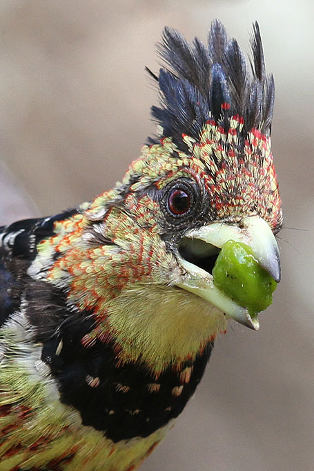 Crested Barbet / Kololo Game Reserve, South Africa / 23 November 2013 (Edited)