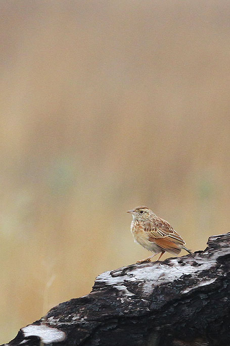 Eastern Clapper Lark / Welgevonden Private Game Reserve, South Africa / 23 November 2013
