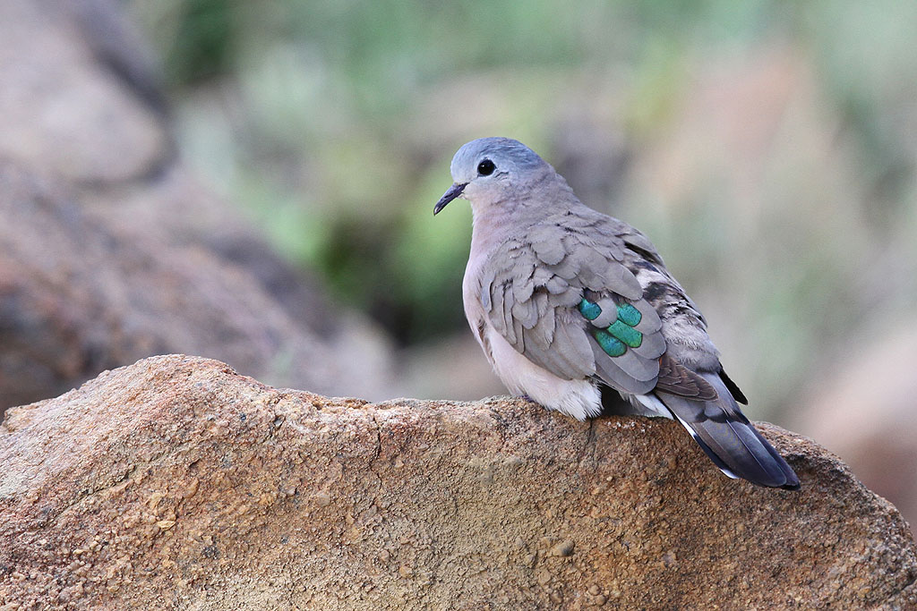 Emerald-spotted Wood Dove / Kololo Game Reserve, South Africa / 23 November 2013