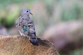 Bird Photography / Emerald-spotted Wood Dove / Kololo Game Reserve, South Africa / 23 November 2013