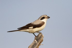 Bird Photography / Lesser Grey Shrike / Kgomo Kgomo, South Africa / 07 December 2013