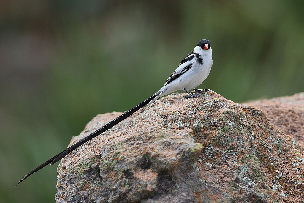 Pin-tailed Whydah / Kololo Game Reserve, South Africa / 23 November 2013
