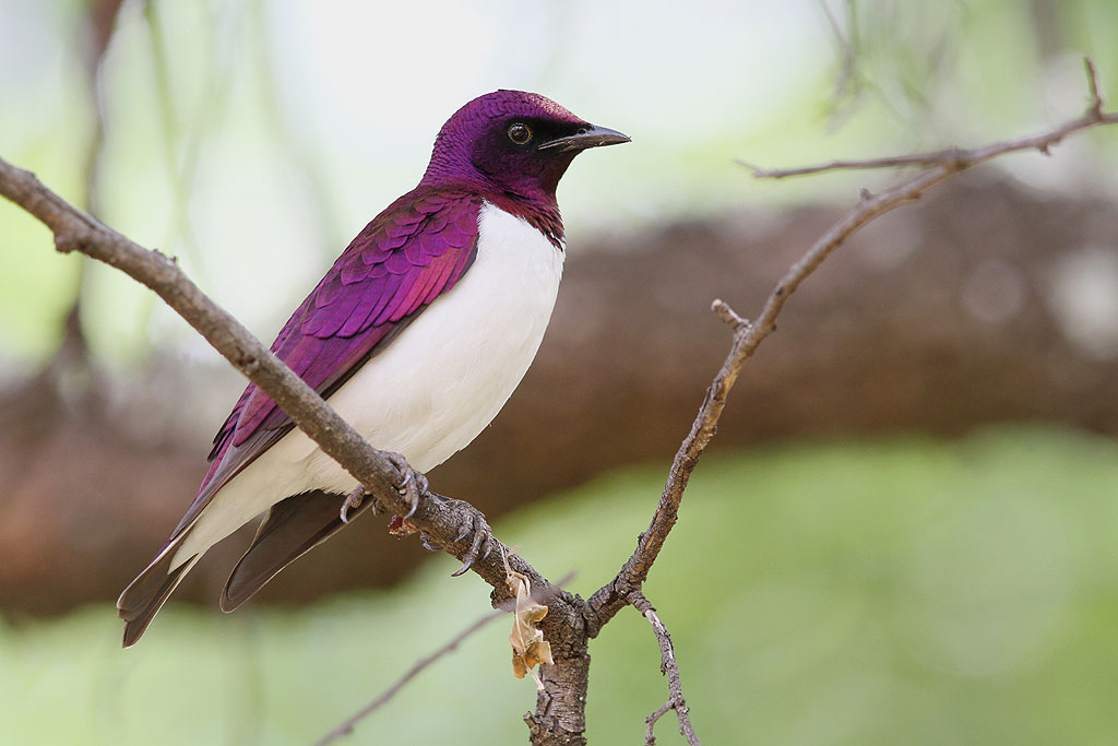 Violet-backed Starling / Kololo Game Reserve, South Africa / 23 November 2013