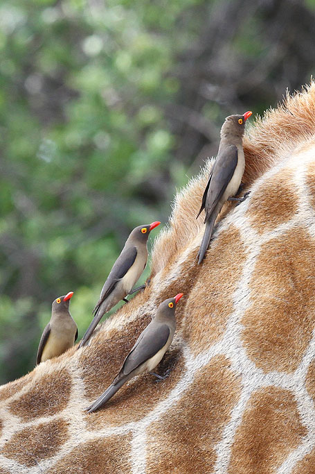 Red-billed Oxpecker / Kololo Game Reserve, South Africa / 23 November 2013