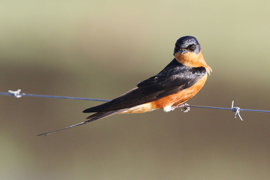 Red-breasted Swallow / Kgomo Kgomo, South Africa / 30 November 2013