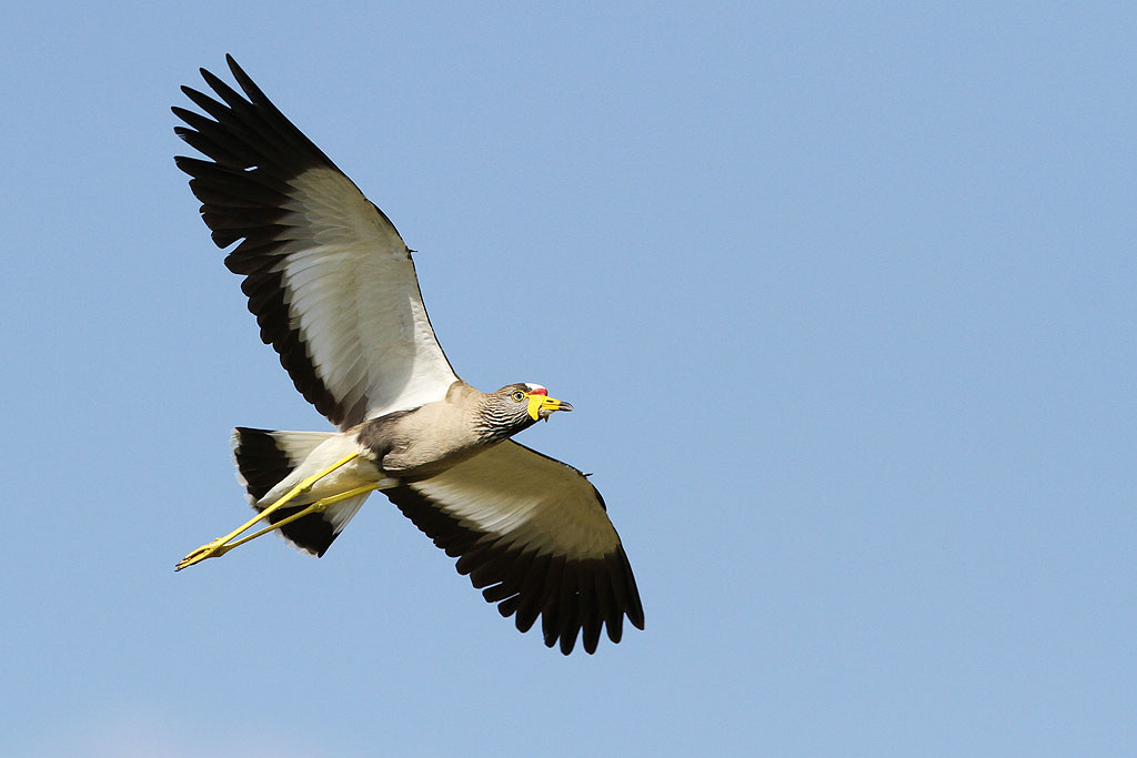 Wattled Lapwing / Kololo Game Reserve, South Africa / 23 November 2013