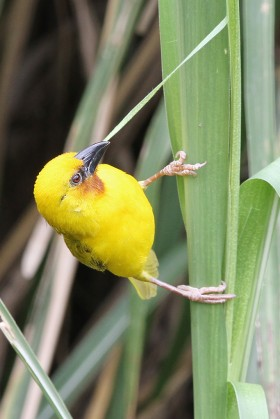 Southern Brown-throated Weaver / Sappi Stanger Bird Hide, South Africa / 17 December 2013