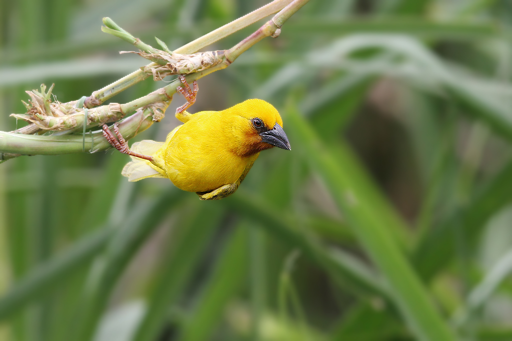 Southern Brown-throated Weaver / Sappi Stanger Bird Hide, South Africa / 17 December 2013 (Edited)