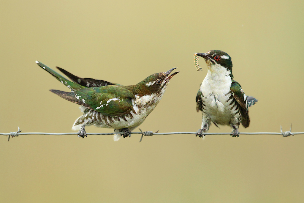 Dideric Cuckoo / Vlaklaagte Roadside Route, South Africa / 19 January 2014