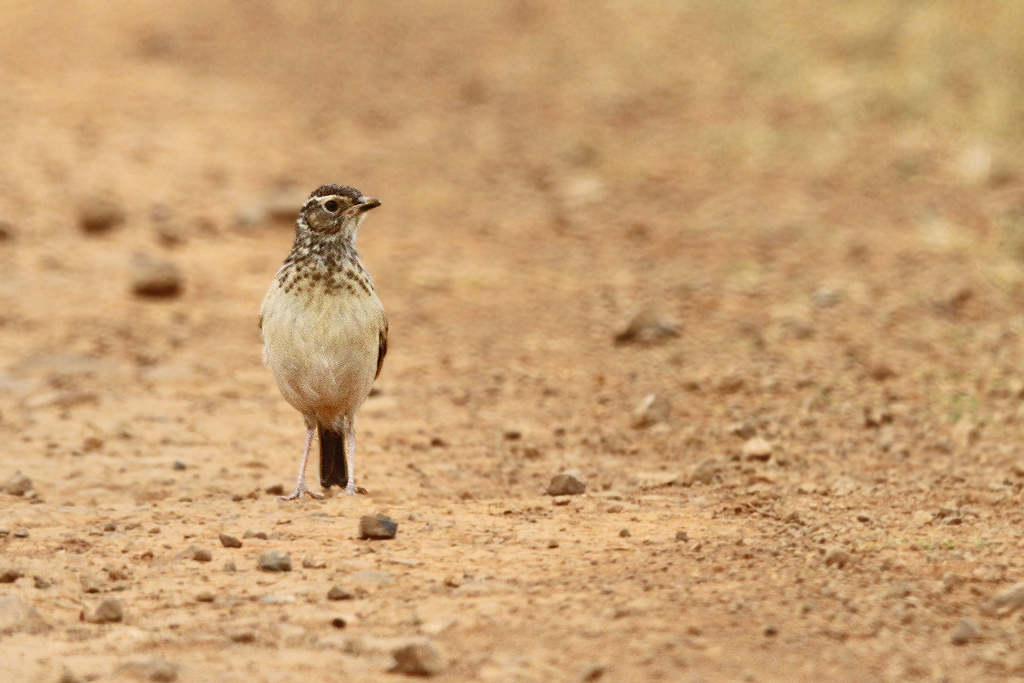 Eastern Clapper Lark juv. / Vlaklaagte Roadside Route, South Africa / 19 January 2014