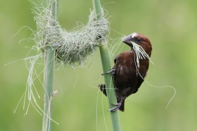 Thick-billed Weaver / Ocean View, South Africa / 15 December 2013