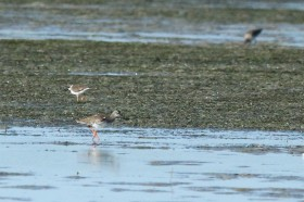 Common Redshank / West Coast National Park, South Africa / 25 January 2014