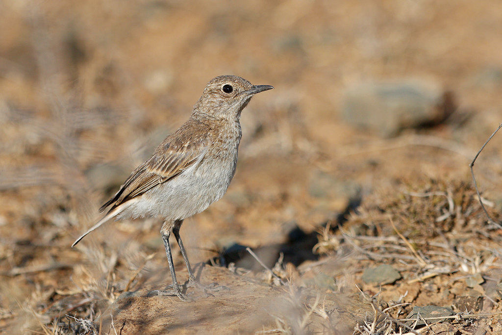 Sickle-winged Chat (juvenile) / Mountain Zebra Park, Eastern Cape, South Africa / 16 December 2016