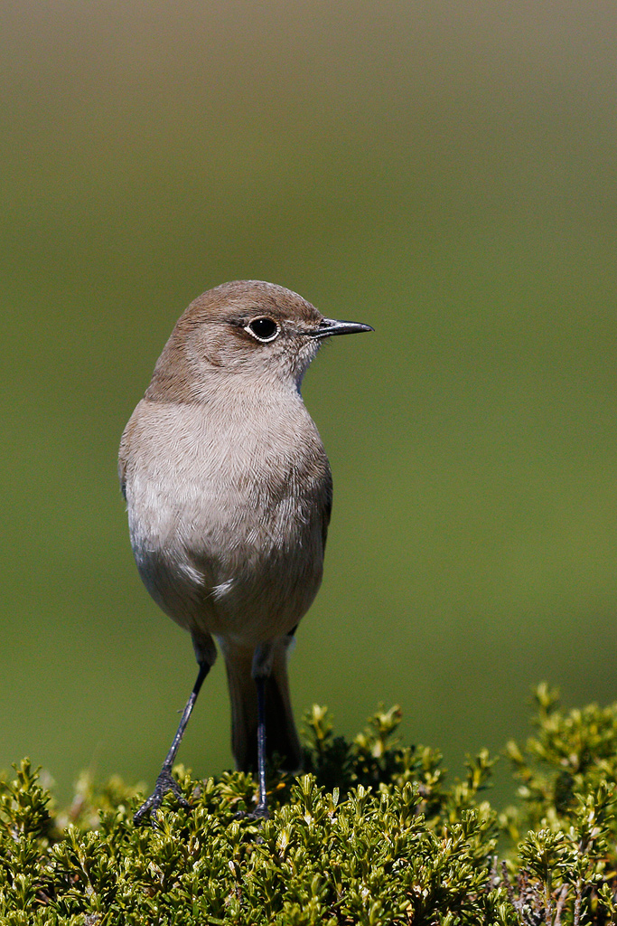 Sickle-winged Chat / Sani Pass, South Africa / 15 April 2015