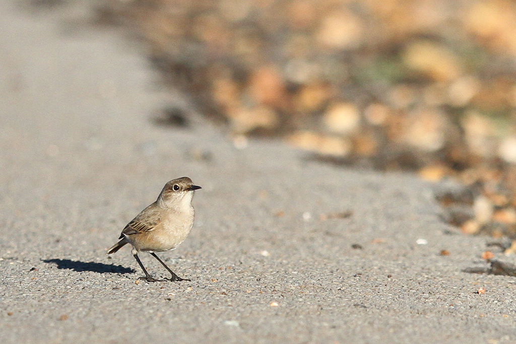 Sickle-winged Chat / Suikerbosrand Nature Reserve, South East Gauteng, South Africa / 24 May 2014